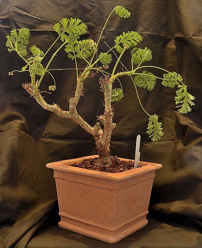 Pelargonium carnosum DSC 0013