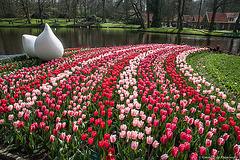 Tulipes à Keukenhof