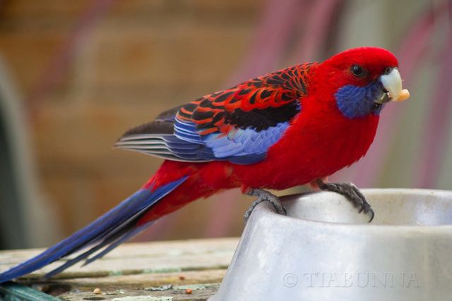 Visiting Crimson Rosella