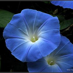 Ipomées,volubilis des jardins,Liserons bleus