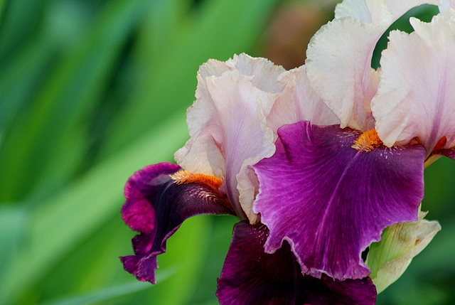 Iris Color Splash