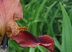 Iris cuivre rouge