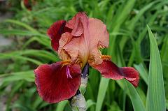 Iris cuivre rouge (2)