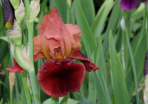 Iris 'Natchez Trace' - Wills 1969 12756579.8eef49de.500