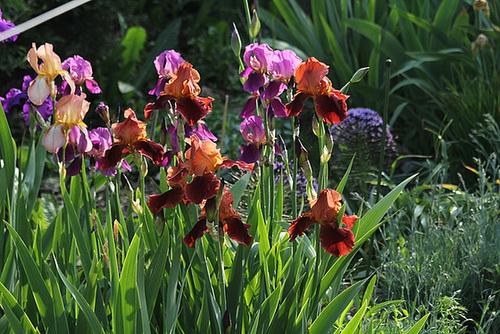 Iris cuivre rouge au soleil couchant