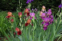 Iris cuivres et pourpres