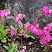 20120414 8603RAw [D~E] Himmalaya Primel (Primula rosea) [Rosenschlüsselblume] [Rosenprimel] [Sumpfprimel], Gruga-Park, Essen