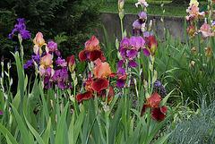 Iris en groupe