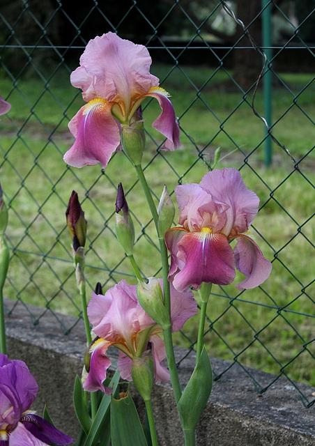 Iris Giant Rose (2)