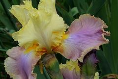 Iris Robe d'été