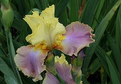 Iris Robe d'été (3)