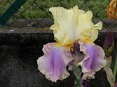 Iris Robe d'été (4)