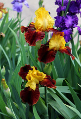 Iris Fiesta Time (2)