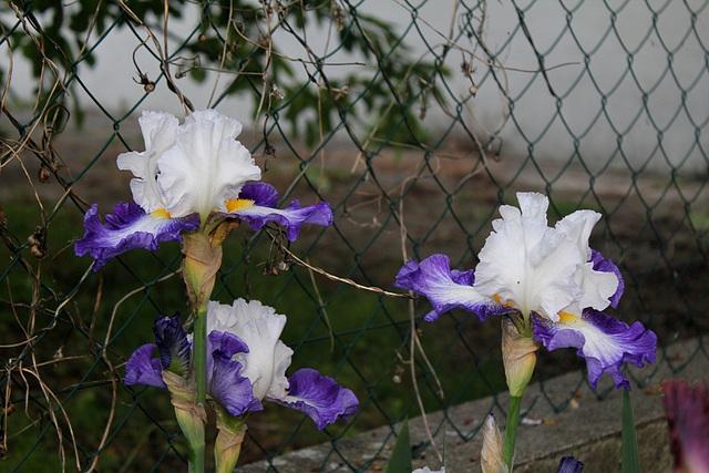 Iris Futuriste (2)