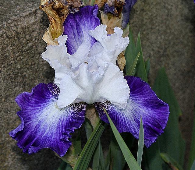 Iris Futuriste (3)