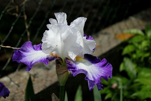 Iris Futuriste (4)