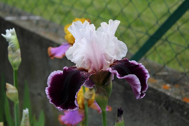 Iris Sweeter Than Wine (3)