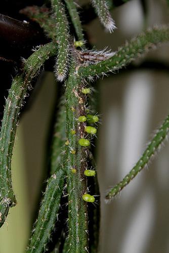 Rhipsalis baccifera 'horrida'