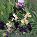 Iris après l'averse (2)- Hello Darkness à terre