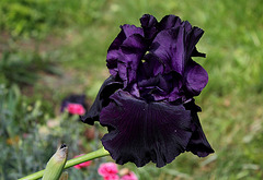 Iris Black Tie Affair
