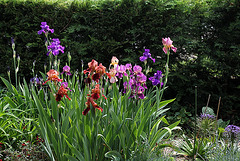Iris cuivre et autres