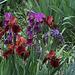 Iris cuivre et autres (2)