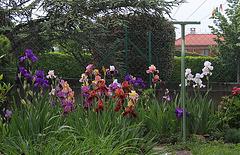 Iris de l'angle sud-ouest