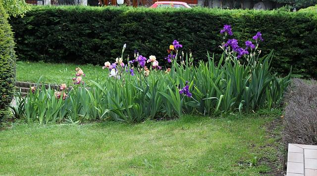 Iris devant la maison