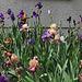 Iris en joyeux mélange