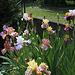 Iris en joyeux mélange 2