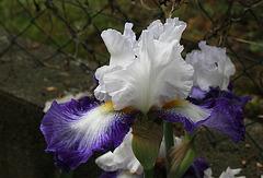 Iris Futuriste