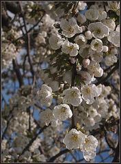 Kirschblüte am Rand der goldenen Aue