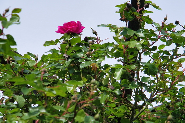 Une seule rose !