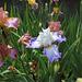 Iris Sixtine C (2)