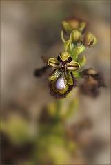 Ophrys miroir de corse