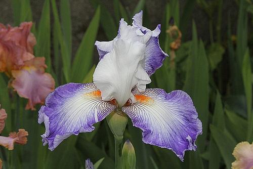 Iris Sixtine C (3)