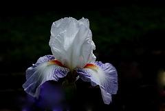 Iris Vive La France
