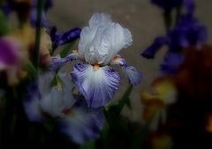Iris Vive La France  (2)