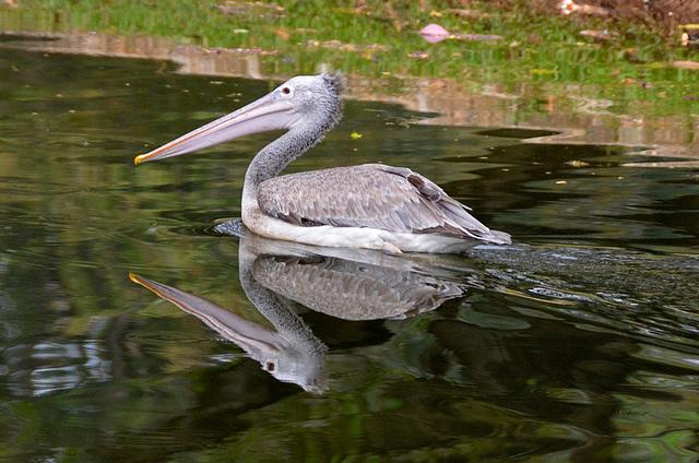 Asian pelican...milieu naturel