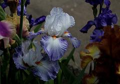 Iris Vive La France  (3)