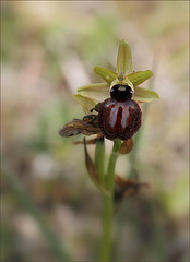 Ophrys vers Bonifacio