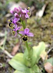 Ne pas négliger les ophrys