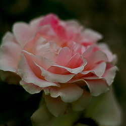 R ... comme rose