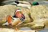 canard mandarin de profil