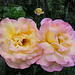 Roses jumelles