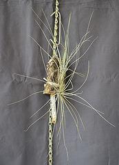 Tillandsia claitophylla AV DSC 0042