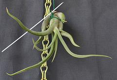 Tillandsia caput medusae DSC 0052