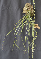 Tillandsia balbisiana DSC 0055