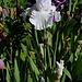Iris blanc 2