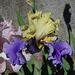 Iris Edith Woolford
